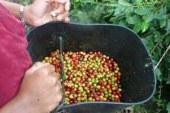 Caficultores de Nunchía quieren mejorar su producción