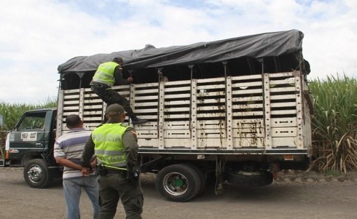 En lucha contra abigeato incauta gran cantidad de ganado sin documentación