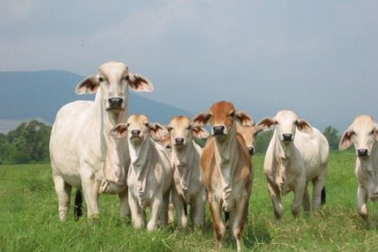 Hatos libres de brucelosis y tuberculosis bovina en Casanare.