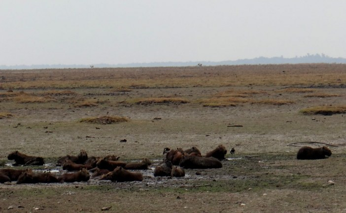 Mueren primeros chigüiros en Paz de Ariporo.