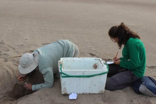 Corporinoquia y Fundación Palmarito protegen 1.986 huevos de tortuga Charapa
