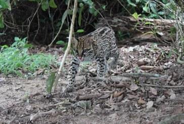 Tigrillos encontraron protección en reserva natural de Casanare
