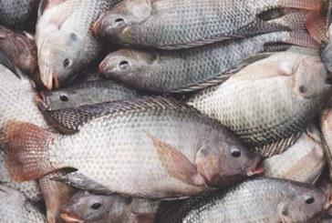 """Posibles casos de """"Hepatitis Sincitial"""" en peces del departamento de Casanare"""