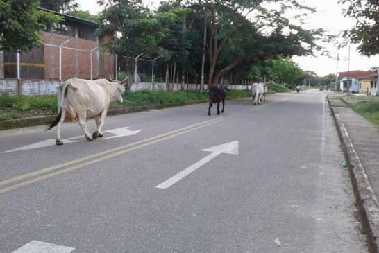 Este martes inician operativos contra ganados sueltos por las calles de Paz de Ariporo