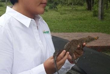 Corporinoquia llevó a cabo la liberación más grande y masiva en la historia de la especie caimán llanero en Colombia