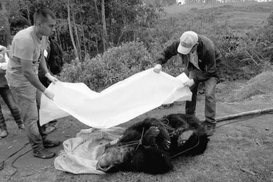 Capturado el asesino del oso de anteojos en Fómeque