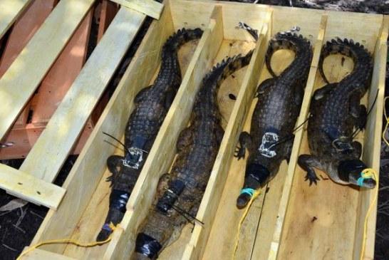 Fundación Palmarito, Salvando al caimán llanero