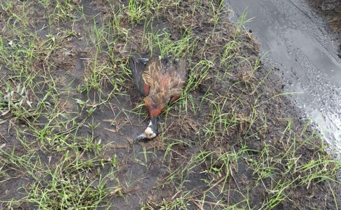 #EnAudio @Corporinoquia denunció ante fiscalía arrocero que envenenó patos