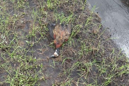 #EnAudio Corporinoquia inspeccionó arrocera que habría envenenado aves.