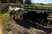 Solo 4 de 11 toros robados en finca de Hato Corozal fueron halladas.