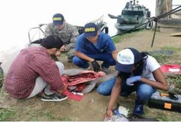 Corporinoquia investiga la muerte de una tonina que al parecer encalló en el río Arauca