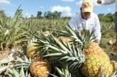 Ecopetrol y Alcaldía de Tauramena firman convenio para el fortalecimiento de la cadena productiva de la piña