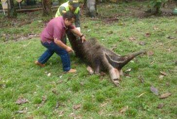 Policía Ambiental recuperó Oso Palmero luego de ser atropellado en la Vía a Morichal