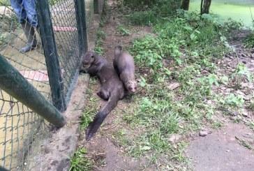 Dos nutrias gigantes regresaron a su hábitat natural en el departamento de Arauca