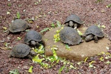 Parex y Unitrópico liberan hoy en Paz de Ariporo tortugas Galápaga