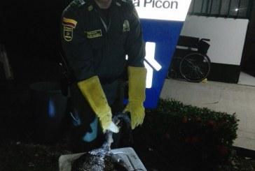 Policía Ambiental rescató a una Nutria en sector de San Rafael de Morichal