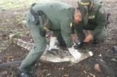 Policía Ambiental reubicó una Babilla que estaba afectando a comunidades de sector rural de Yopal