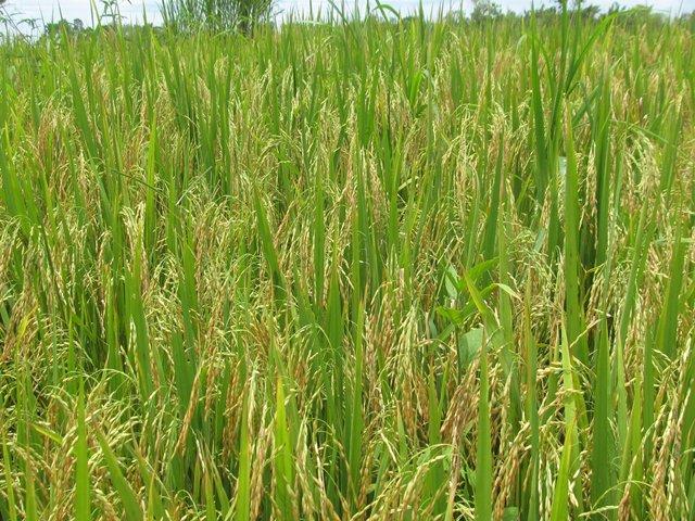 AUDIO | El 80% de la cosecha de arroz en Casanare ha salido ilesa de la emergencia vial