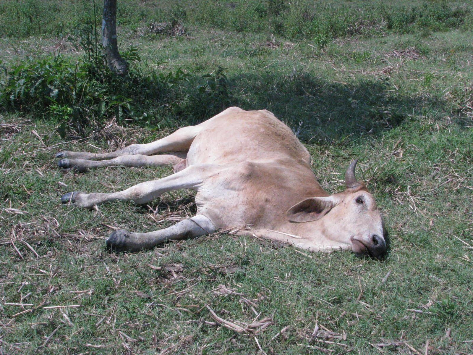 EL riesgo de los ganaderos por el fenómeno del niño
