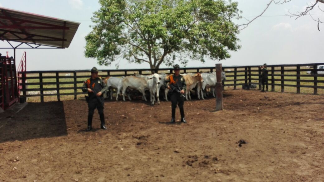 Policía recuperó 22 cabezas de ganado que habían sido hurtados en Orocué