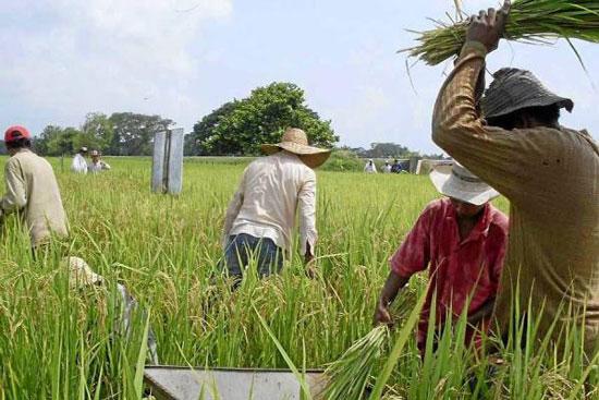 El gremio arrocero calcula pérdidas de $120 mil millones sobre la cosecha del 2016