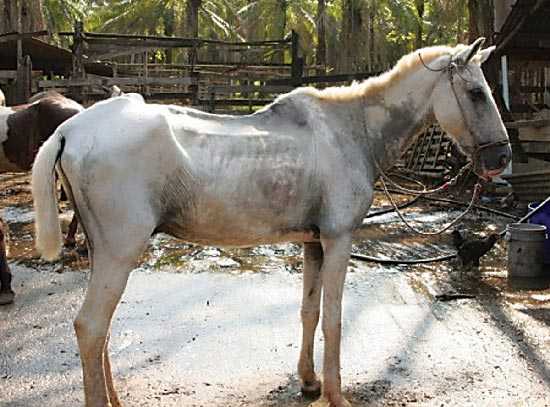 Vacunaron 7.777 equinos en Casanare contra Encefalitis Equina Venezolana