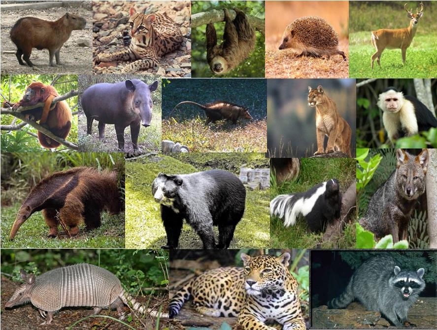 Cormacarena la segunda corporación con mayor número de mamíferos
