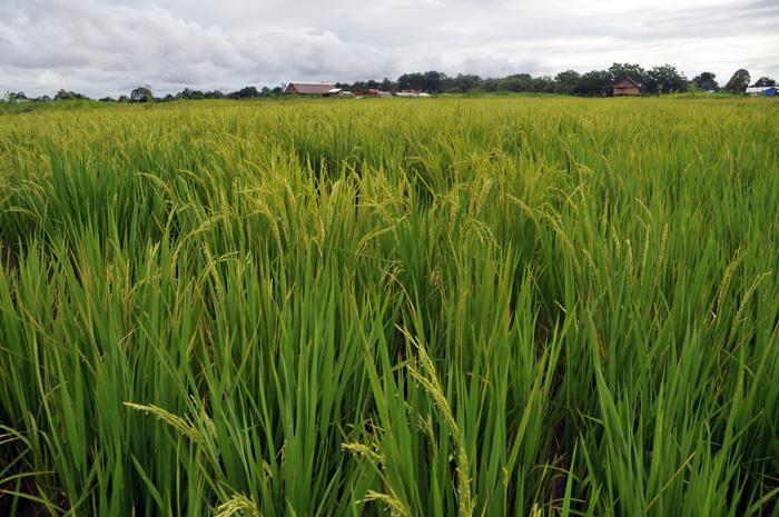 ¿Desiertos de arroz?