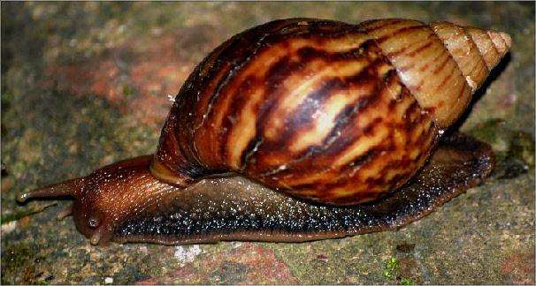 Inicia la temporada de invierno y, con ella, los controles para mitigar la presencia de caracol africano gigante.