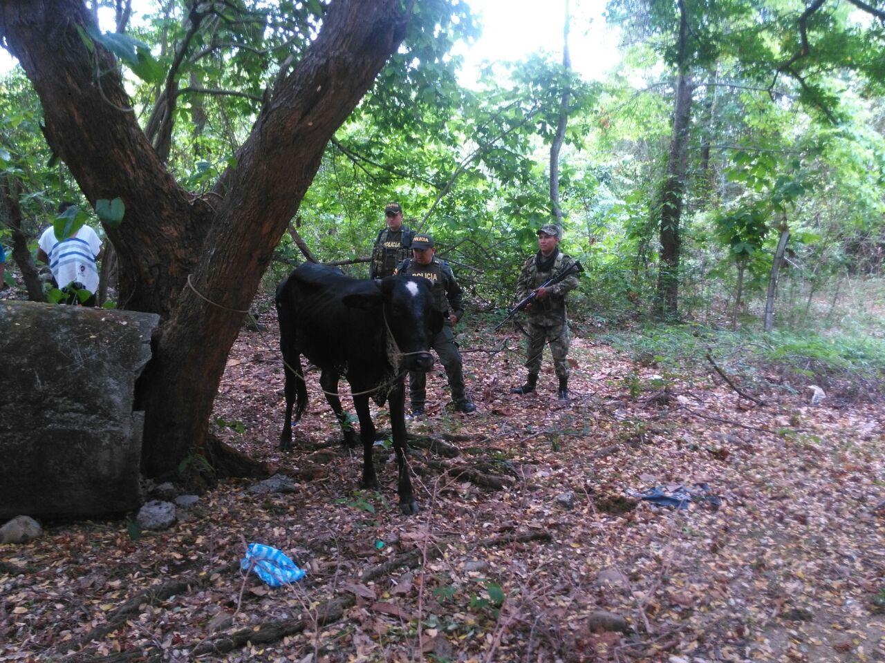 Autoridades rescatan una novilla que había sido hurtada en el norte de Casanare