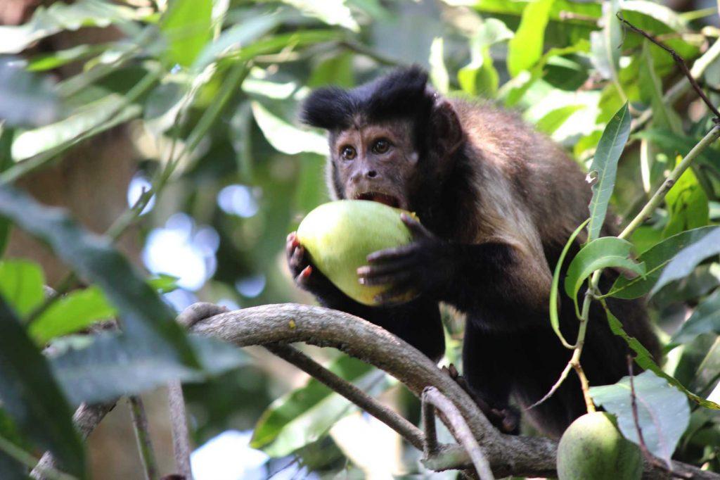 Recuperaran y liberaran seis monos maiceros en Casanare