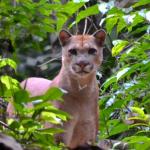 Felino tiene preocupados a habitantes de La Argentina entre Corozal y Paz de Ariporo, está matando animales de granja