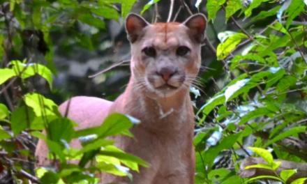 Ante aparición de felinos en el norte de Casanare, Corporinoquia y la fundación Panthera dieron recomendaciones de manejo.