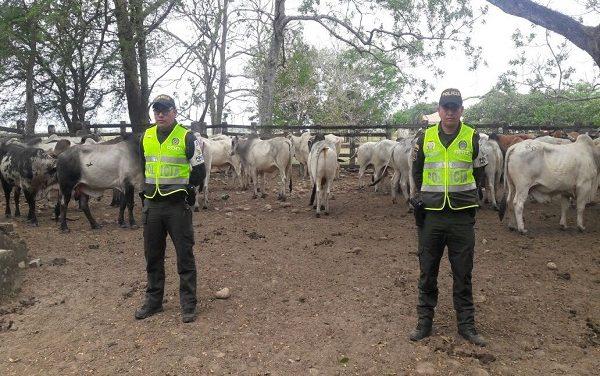 97 bovinos de procedencia venezolana fueron incautados por la Policía Fiscal y Aduanera en Yopal.